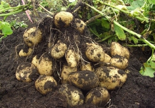 белый сорт картофеля адретта