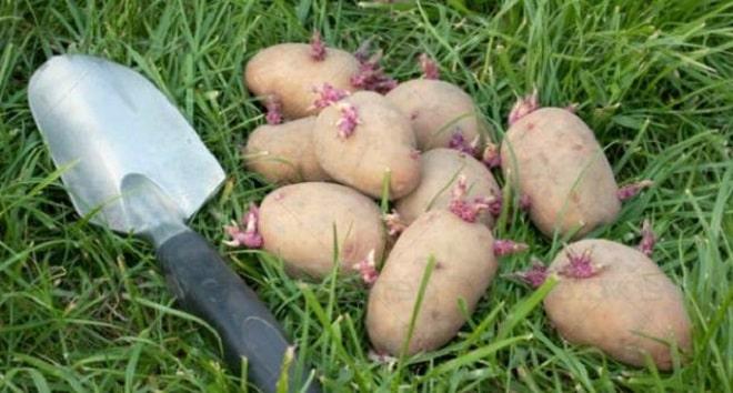 картошка проросла