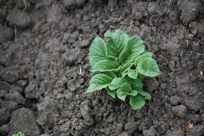 росток картофеля