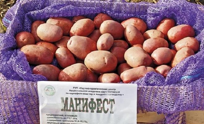 картофель сорта манифест