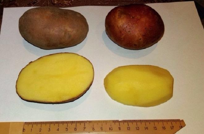 внешний вид картофеля вектор