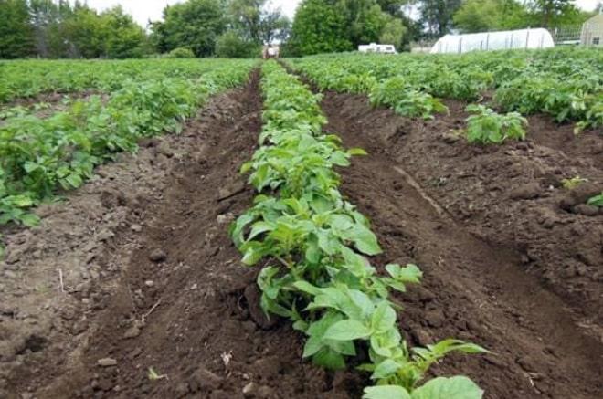 Порядок ухода за картофелем