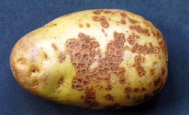 вид парши на картофеле