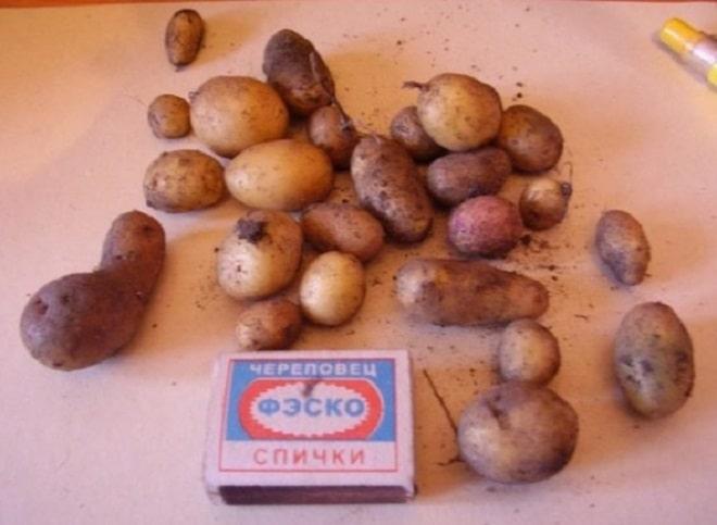 семеннной картофель
