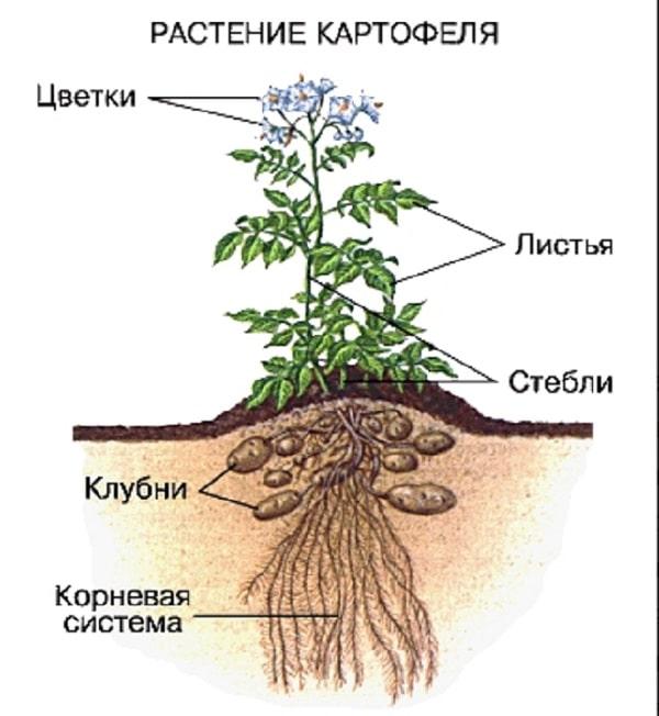 строение куста картофеля