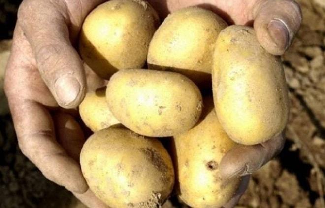 картофель уладар