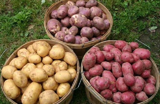 картофель всех окрасок