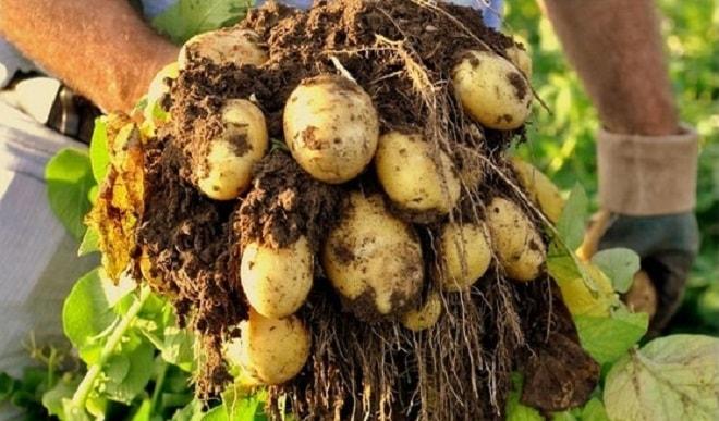 количество картофелин в кусте
