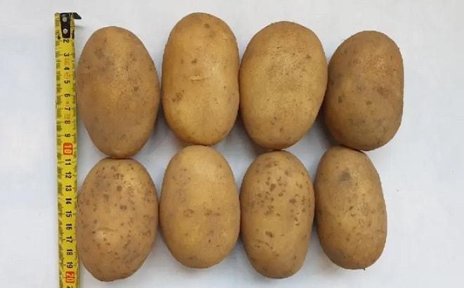 размер картофелин