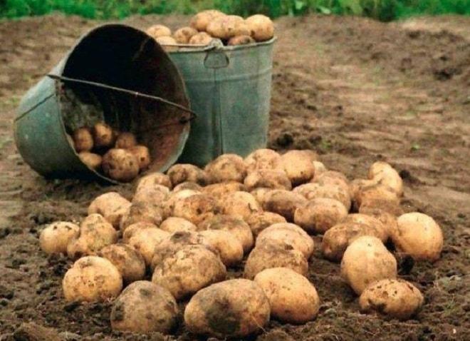 урожай невского картофеля