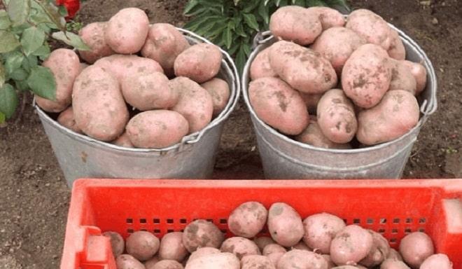 два ведра картофеля