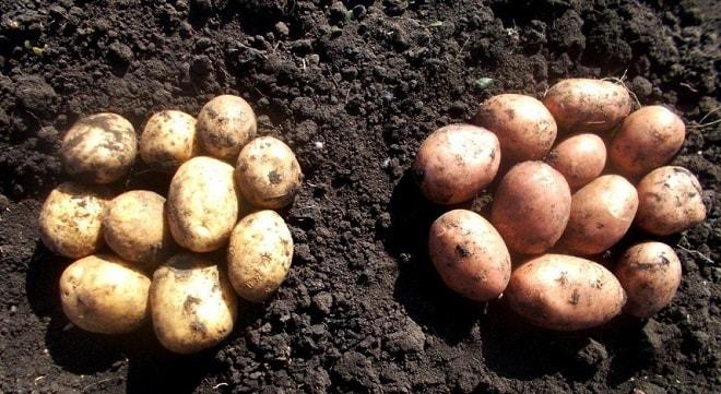 две кучки картофеля