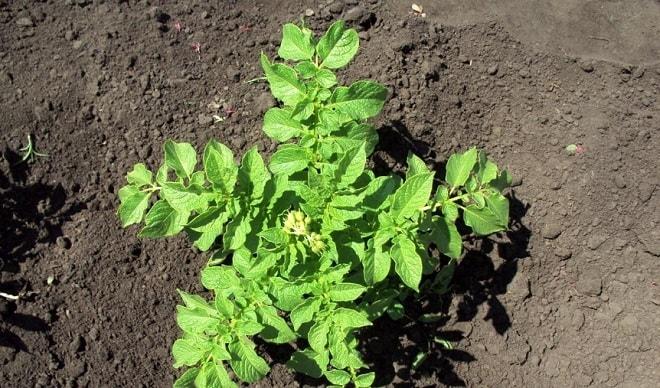 растущий картофель