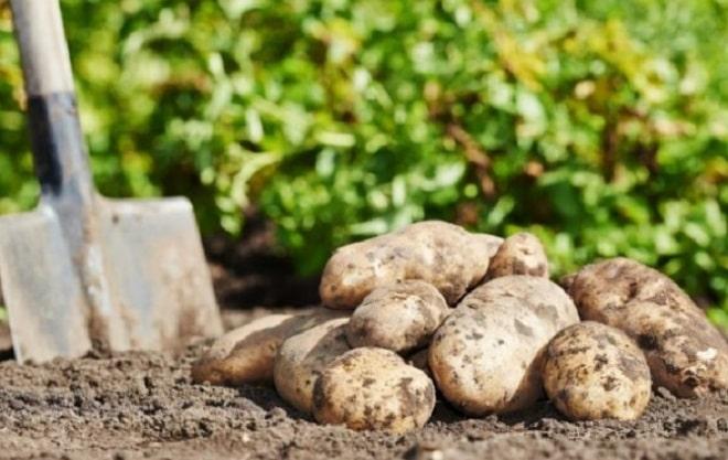 урожай картофеля бриз